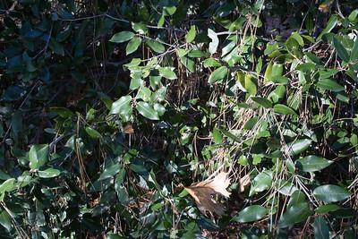 C0981 Tree or big shrub a bit like bay laurel