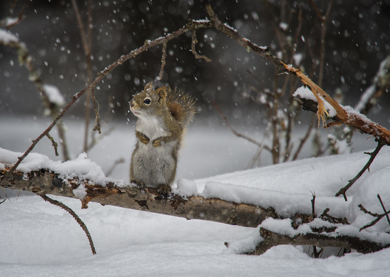 Squirrel in the snow.jpg