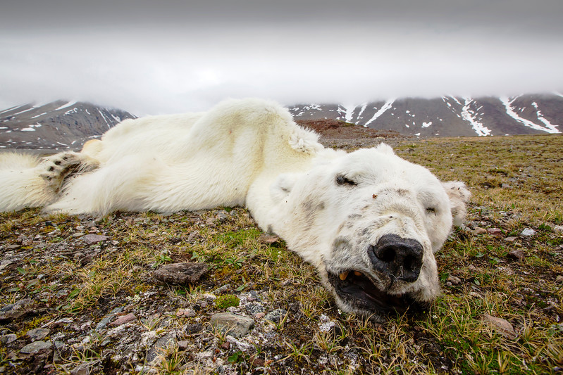 A Polar Bear (Ursus maritimus) that starved to death as a consequence of climate change.