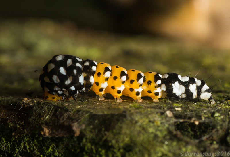 Unidentified caterpillar from Belize.