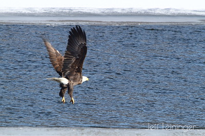 Eagles at the dam.