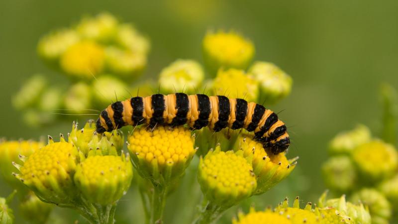 Cinnabar Moth Caterpillar, Tyria jacobaeae. Waterleidingduinen, The Netherlands.
