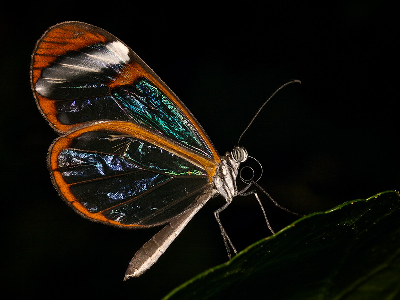 2018022517223731-.hrglasswing butterfly-1.jpg