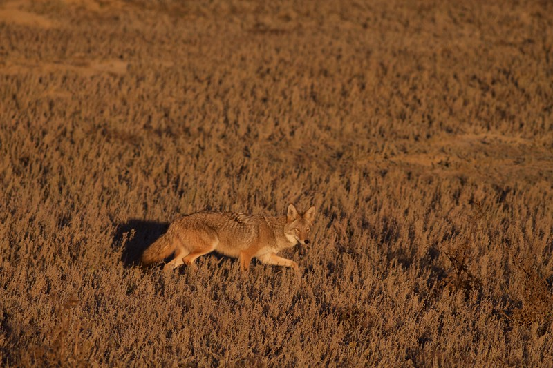 Coyote Teddy Roosevelt National Park ND IMG_5750.jpg