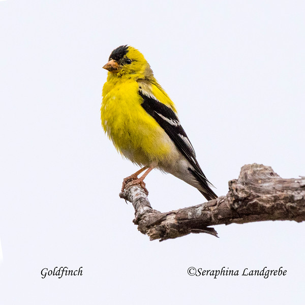 _DSC2389Goldfinch.jpg