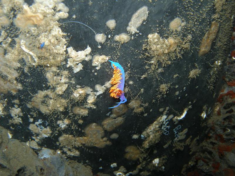 Spanish Shawl nudibranch on the pilings of Sterns Wharf in Santa Barbara