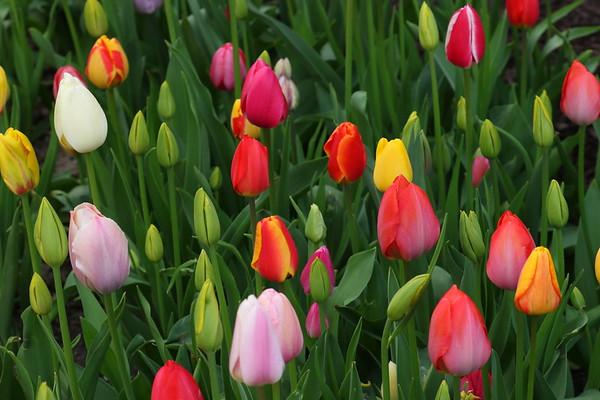 Tulip Time - 5/4/19