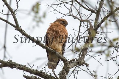 Hawk  023
