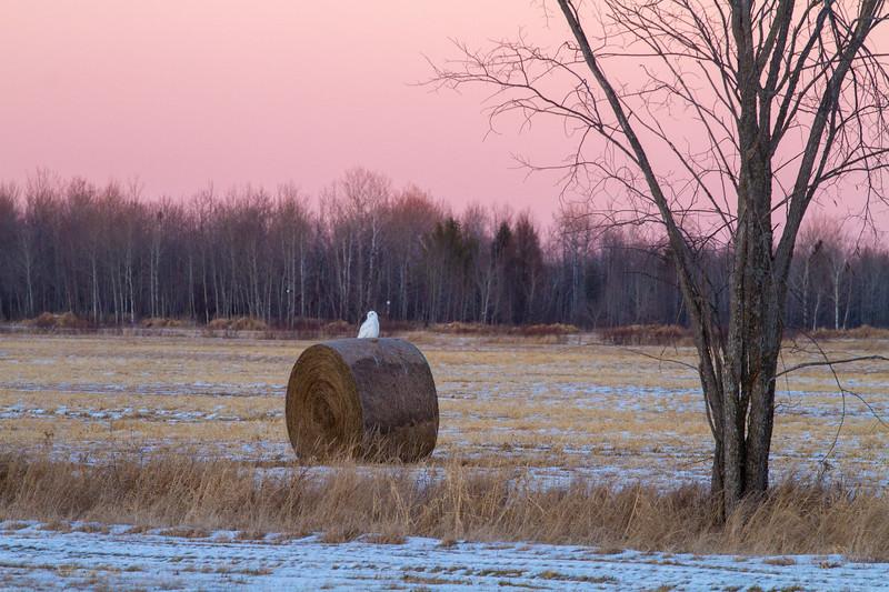 Snowy Owl mature male on haybale CR229-29 Dart Road Sax-Zim Bog MNIMG_3970.jpg