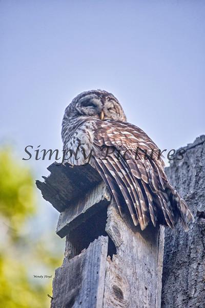 Owl  (41)