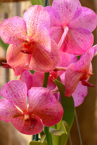 Orchids for Sale - Vertical
