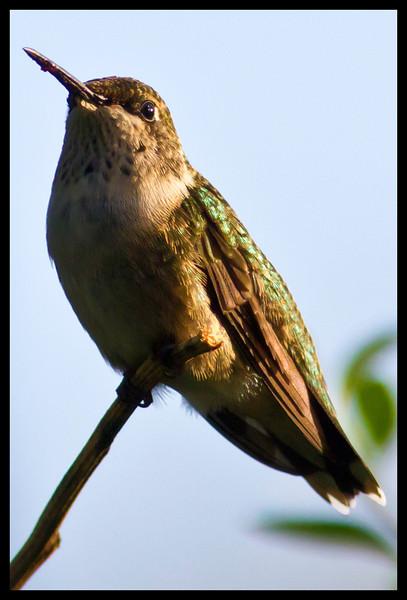 Hummingbirds Sept 29