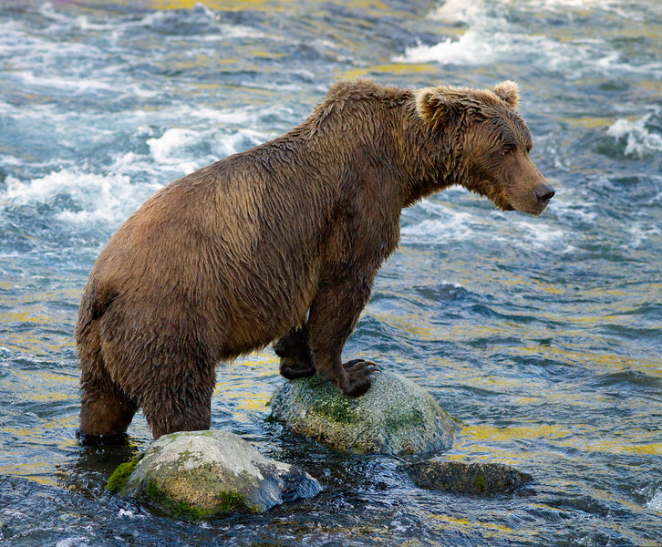 Grizzly in Brooks River, Katmai National Park