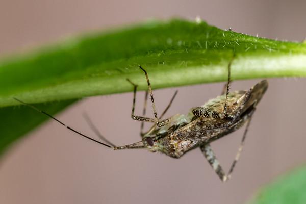 Genus Phytocoris (USA)