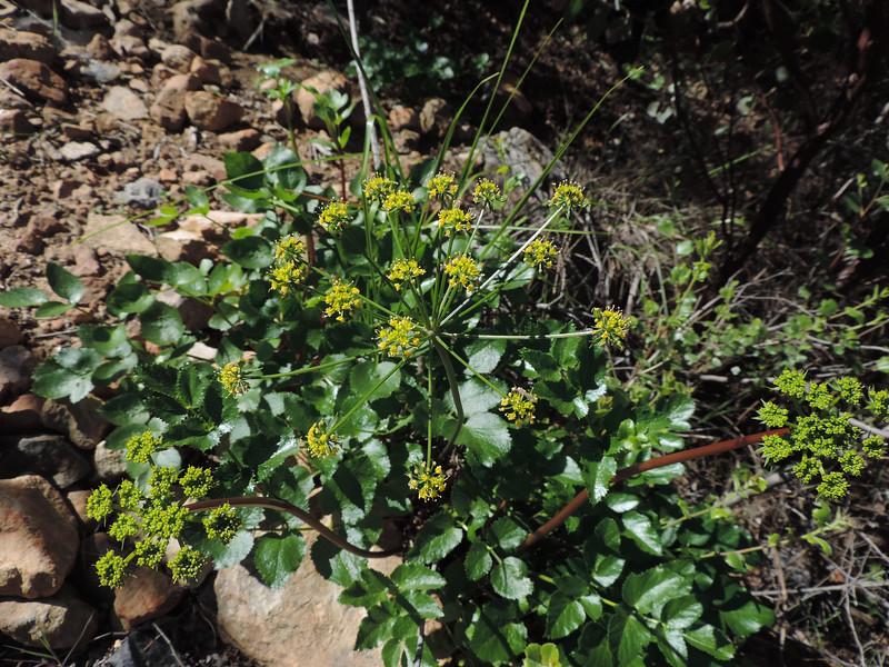 Southern Tauschia (Tauschia arguta)