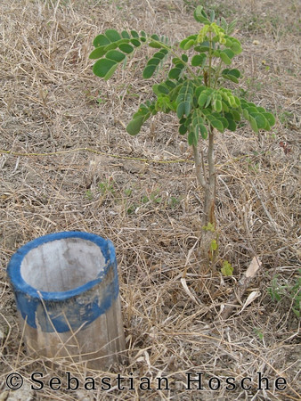 "<html>2006-11-08_11717 <span class=""eng2""><p>tree with bamboo to the roots for watering </p></span><span class=""ger""><p>Baum mit Bambusrohr zu den Wurzeln zum Wässern </p></span><span class=""esp""><p>un árbol con bambú a la raíz para regar </p></span></html>"