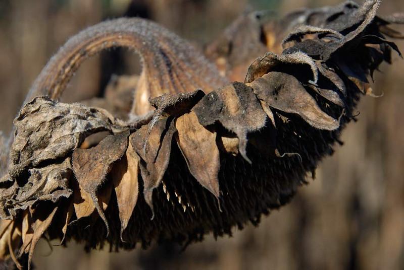 wilted-sunflower.jpg