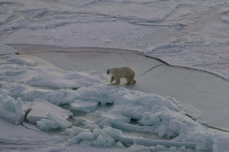 Polar Bear on Hudson Bay