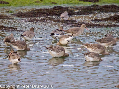 Sandpipers (Scolopacidae)