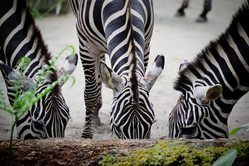 Zebra, Singapore Zoo