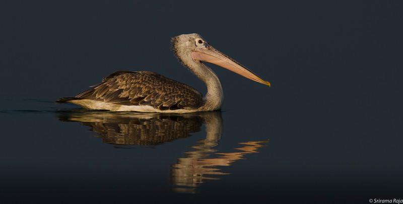 Pelican Zigzag