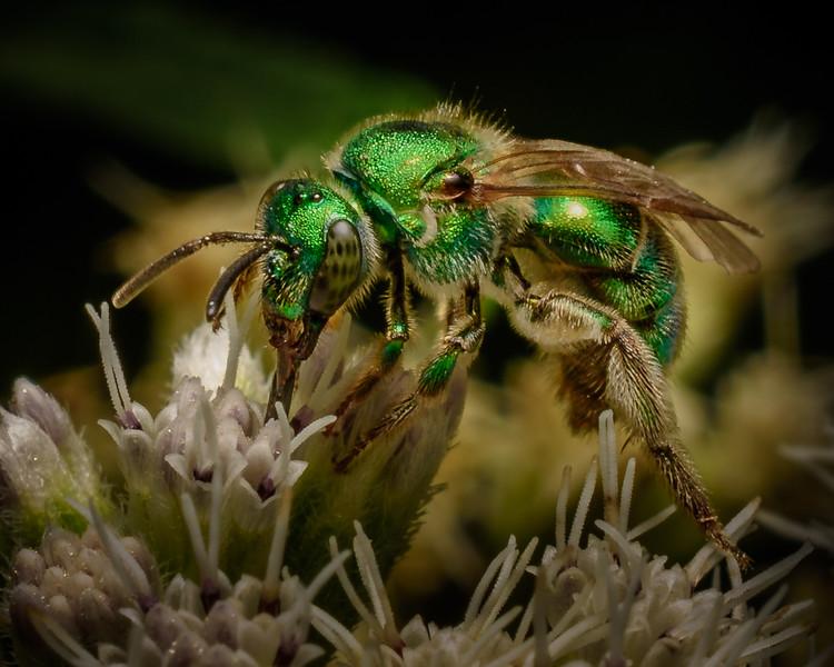 Green Sweat Bee - 8-19-18.jpg