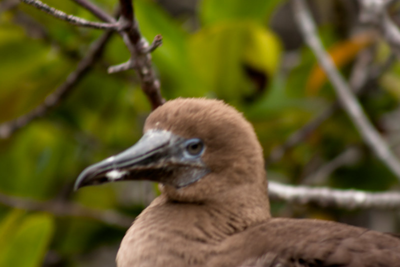 Bird Looking Back : Journey into Genovesa Island in the Galapagos Archipelago