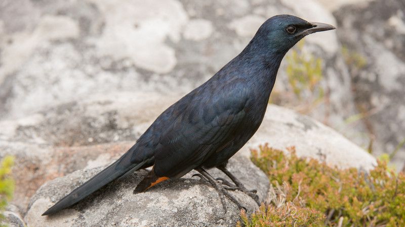 Red-winged Starling, Onychognathus morio. Table Mountain, Cape Town, South Africa.