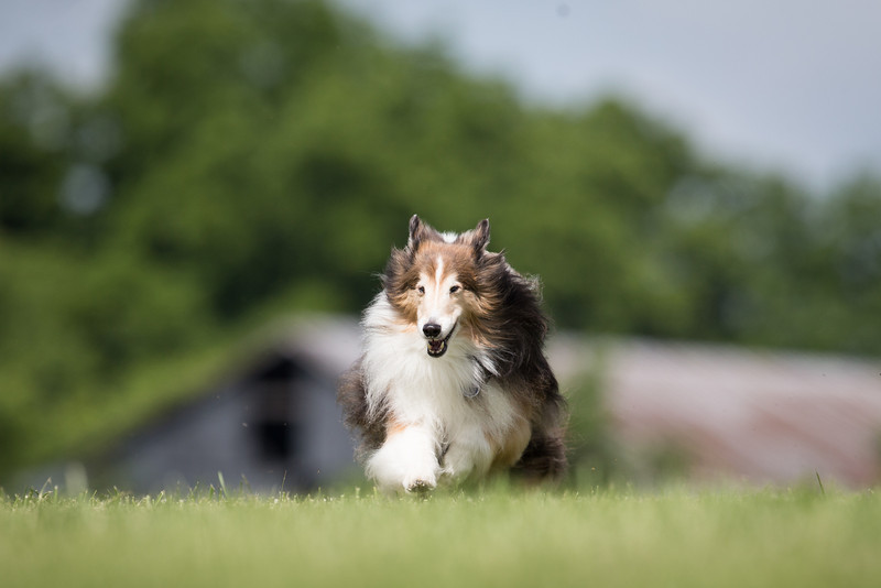 14_0617_Hawkshelties_ww-5669.jpg
