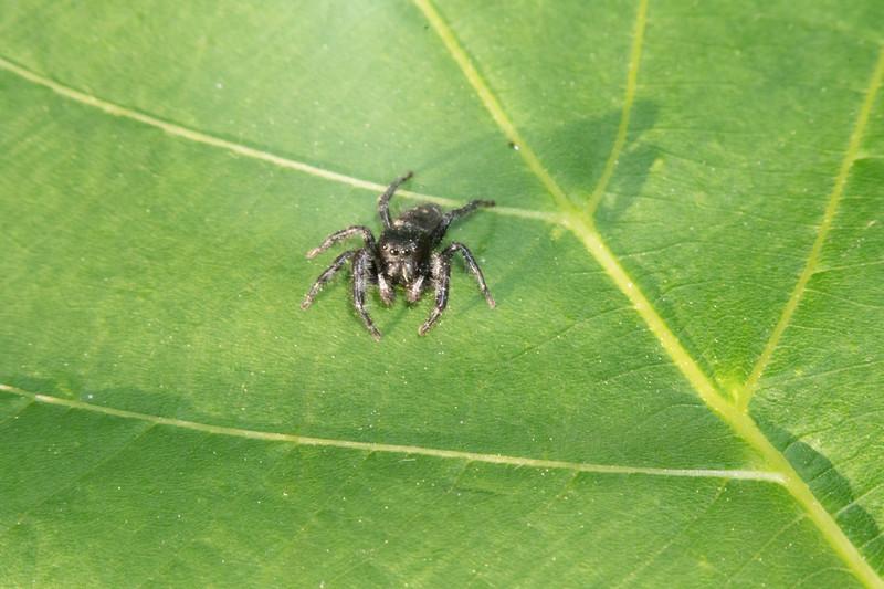 Phiduppus purpuratus Jumper Skogstjarna Carlton County MNDSC09302.jpg