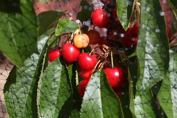 kyle_plucks_cherry_tree