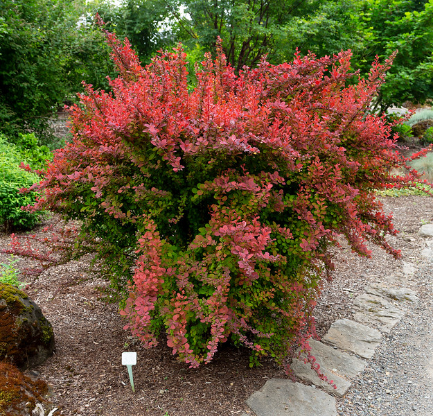 Cinnamon Barberry