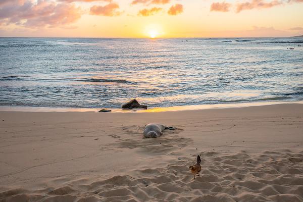 Monk Seals, Poipu Beach