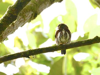 Central American Pygmy-Owl (Glaucidium griseiceps)