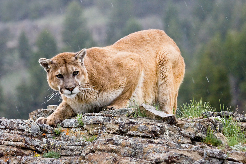 The cougar is a very capable 'stalk & ambush' predator, hunting almost anything from rodents to elk.