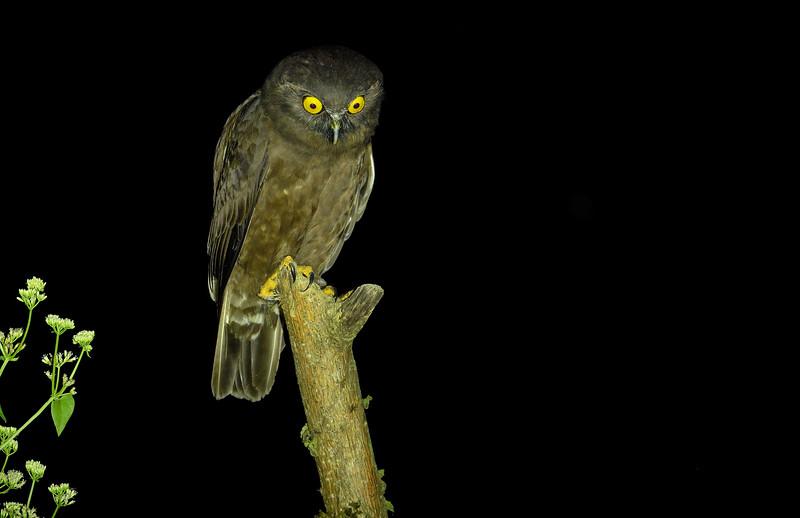 Humes-hawk-owl-Andaman.jpg