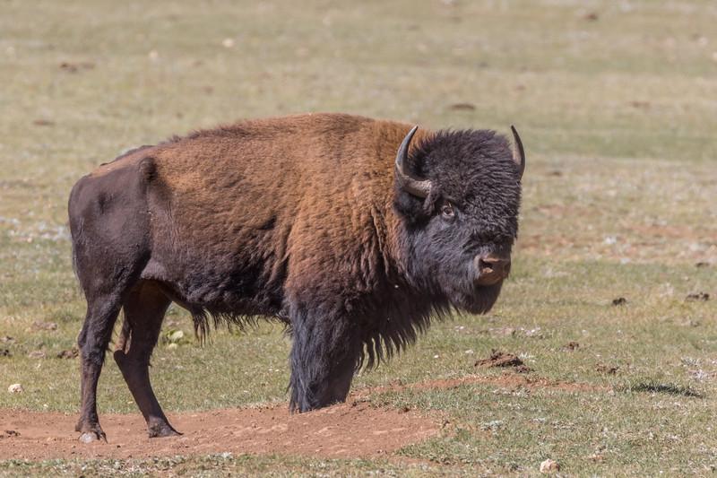 Grand Canyon North Rim Bison