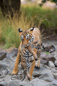 Tiger mother carrying her cub
