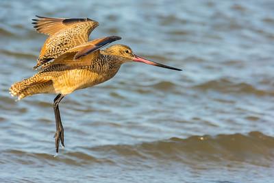 Shorebirds & Pelicans