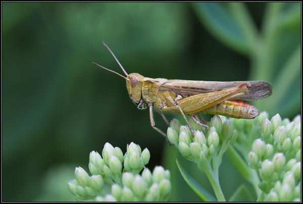Bruine Sprinkhaan/Field Grasshopper