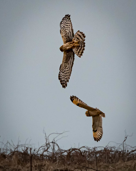 Northern Harrier & Short-eared Owl