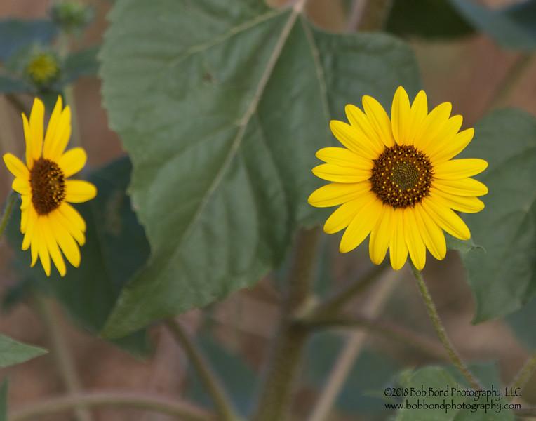Jealous Sunflower