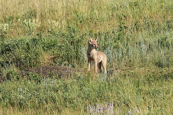 7-1-15 Coyote Pups at Larkspur