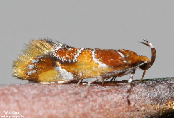Superfamily Gelechioidea