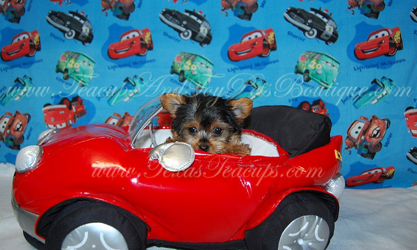 Donated At Amica Auction YORKIE # 2669