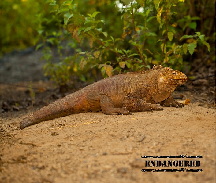 ENDANGERED PAGE WITH STAMP - land iguana.jpg