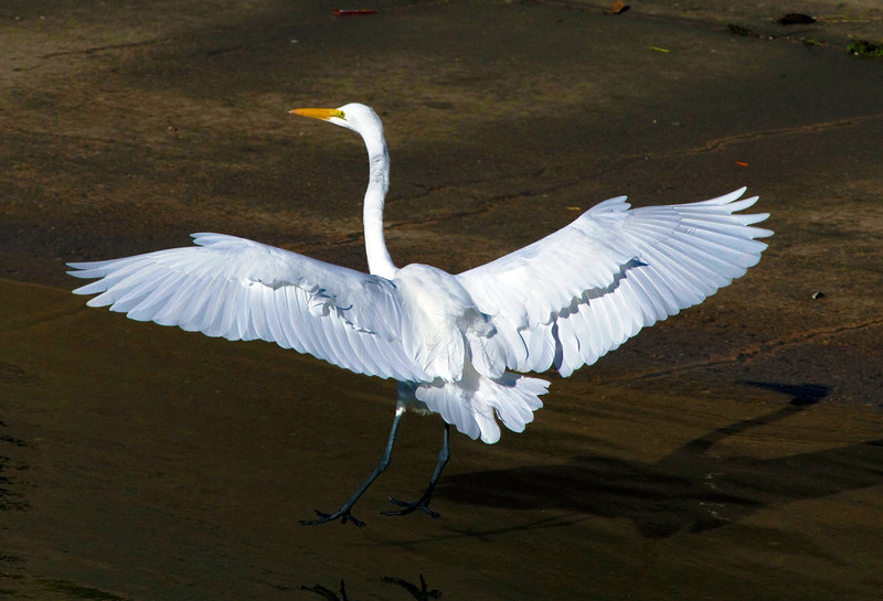 Great white egret landing in Brays Bayou, Houston