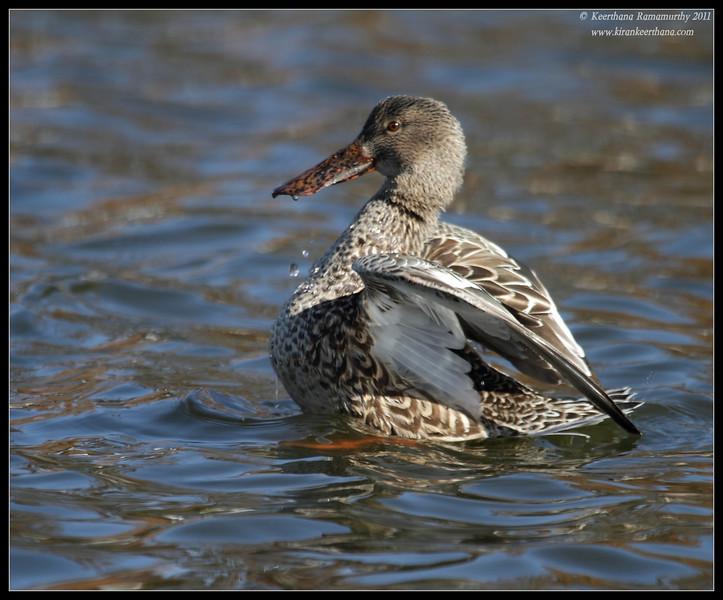Northern Shoveler duck, Santee Lakes, San Diego County, California, December 2011