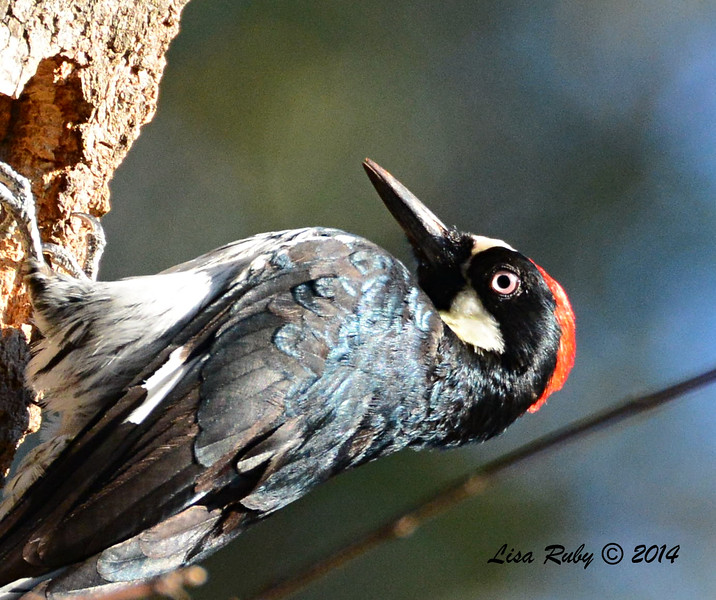 Acorn Woodpecker -  10/11/2014 - Pine Ridge Road, Pine Hills