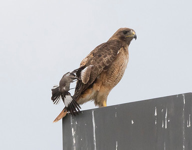 Red-tail Hawk and the Mockingbird